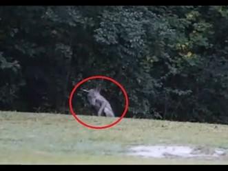 Avistamiento captado en vídeo de un Chupacabras en Río Colorado, La Adela, Argentina.